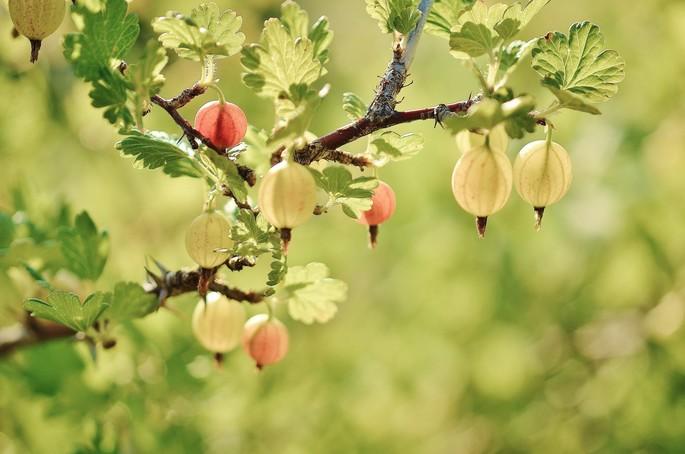 I piccoli frutti salutari del sottobosco