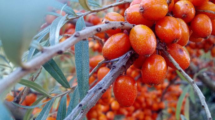 Облепиха, священный плод Гималаев