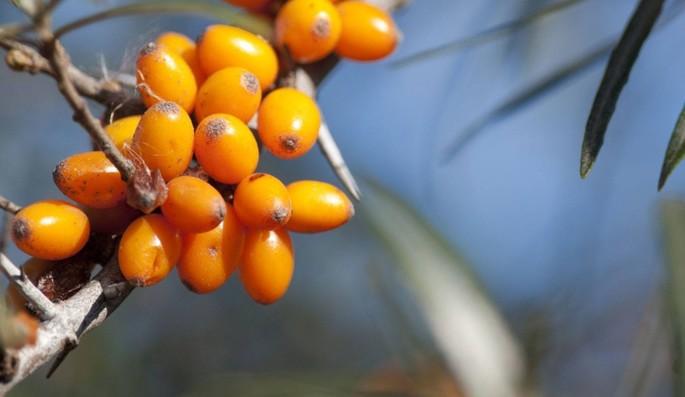 Olivello Spinoso, il frutto sacro dell'Himalaya